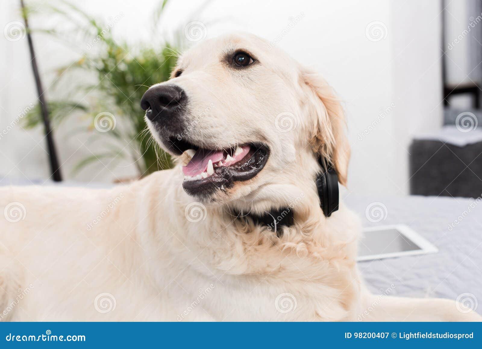 Download Пушистая собака золотого Retriever лежа на кровати Стоковое Изображение - изображение насчитывающей indoors, родословная: 98200407