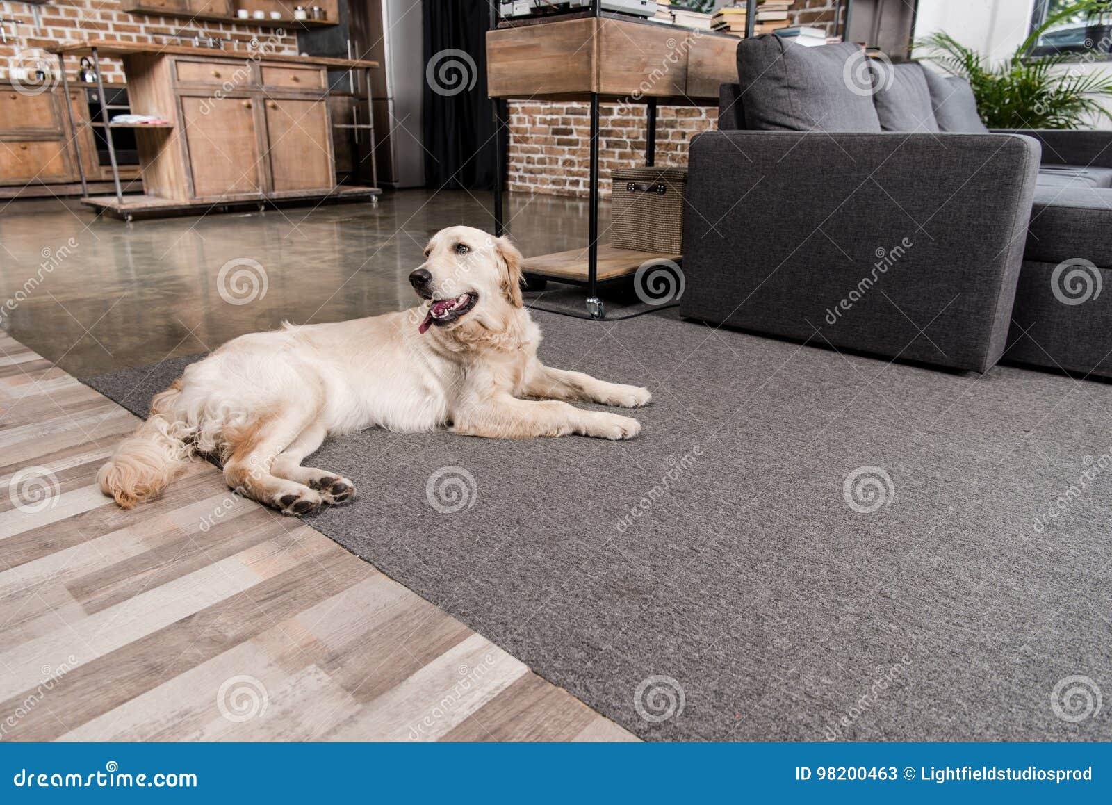 Download Пушистая собака золотого Retriever лежа на поле Стоковое Изображение - изображение насчитывающей разведенными, отдыхать: 98200463