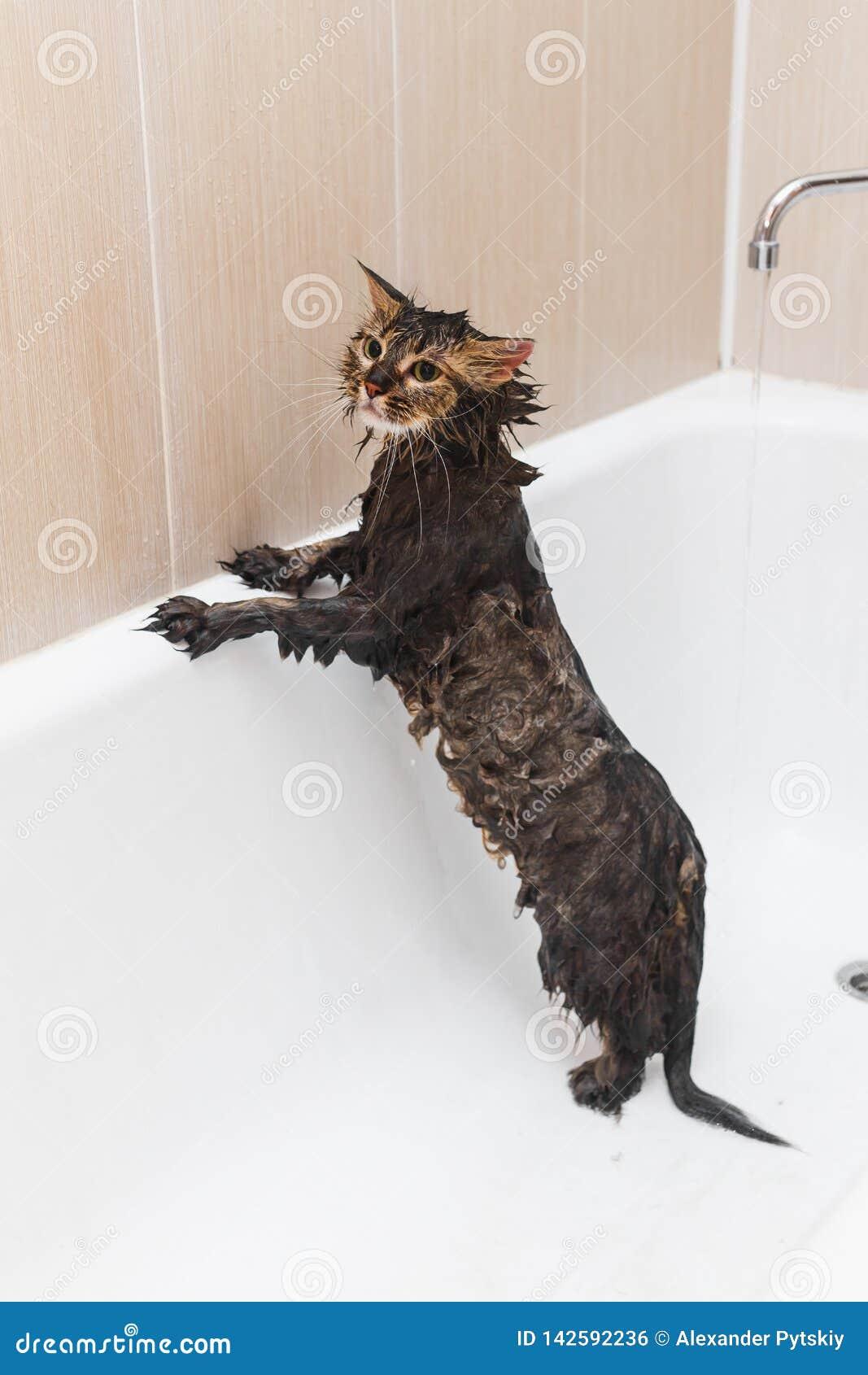Пушистый влажный кот стоит в белой ванне