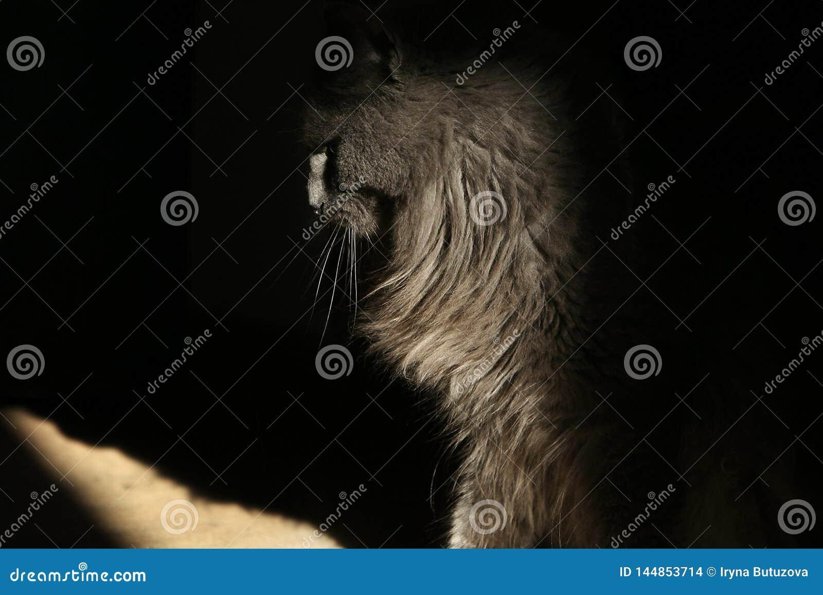 Пушистый серый кот сидит в профиле в тени