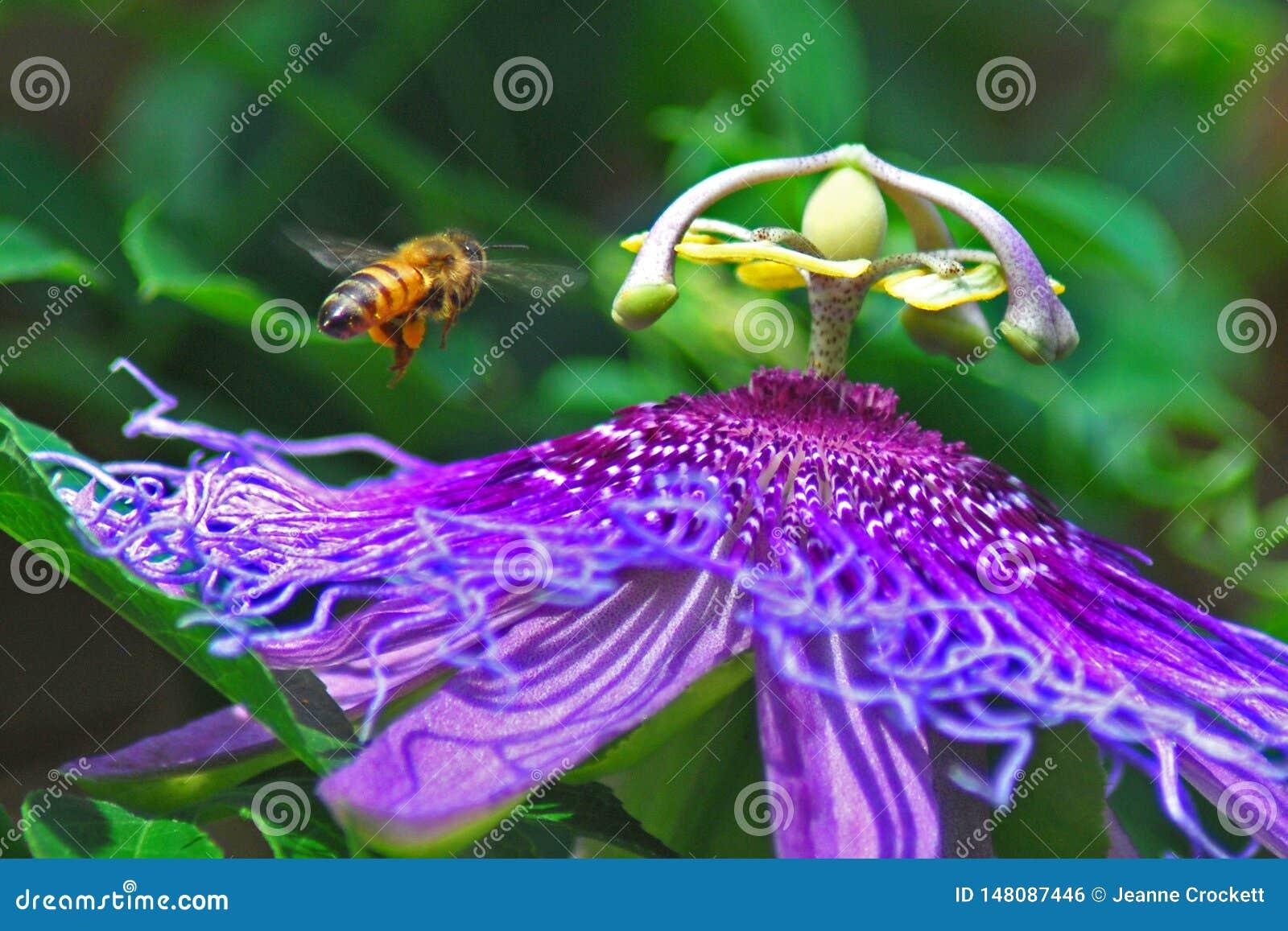 Пчела и пурпурный цветок лозы страсти