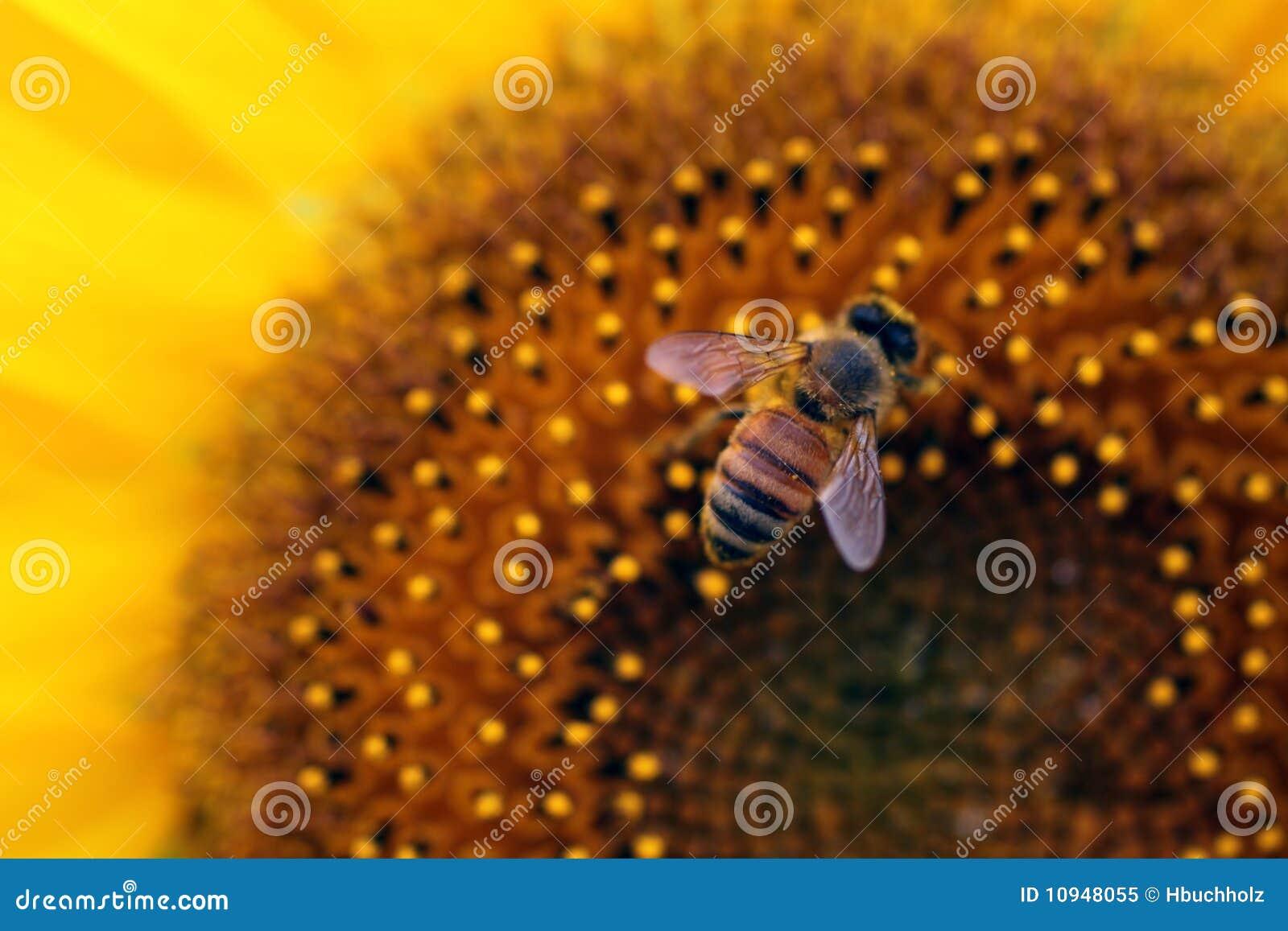 пчела наслаждаясь солнцецветом