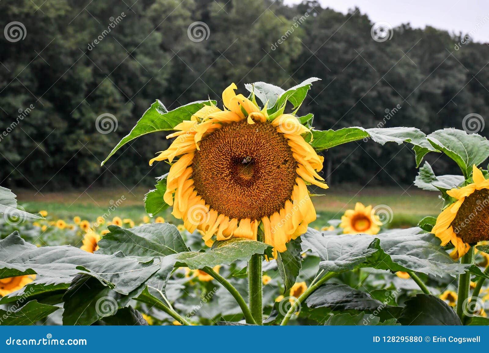 Пчела на зацветая солнцецвете, яшме, Georgia, США