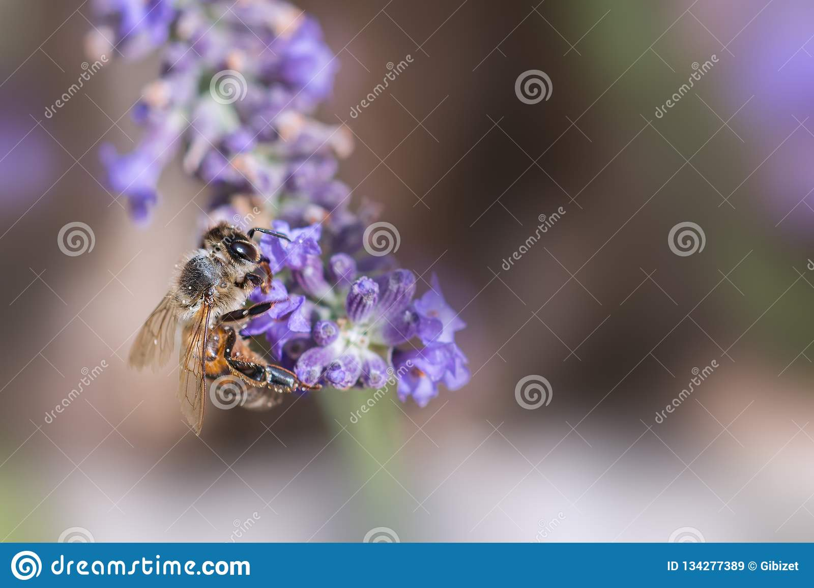 Пчела на работе на лаванде