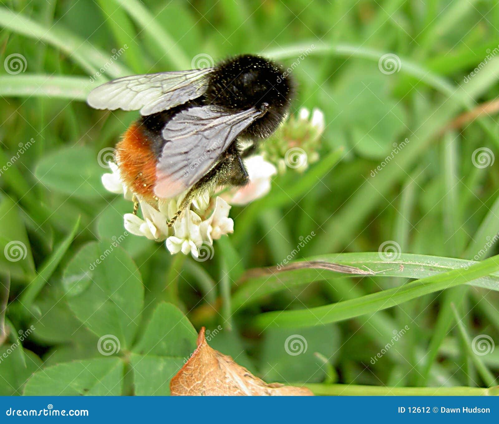 пчела путает