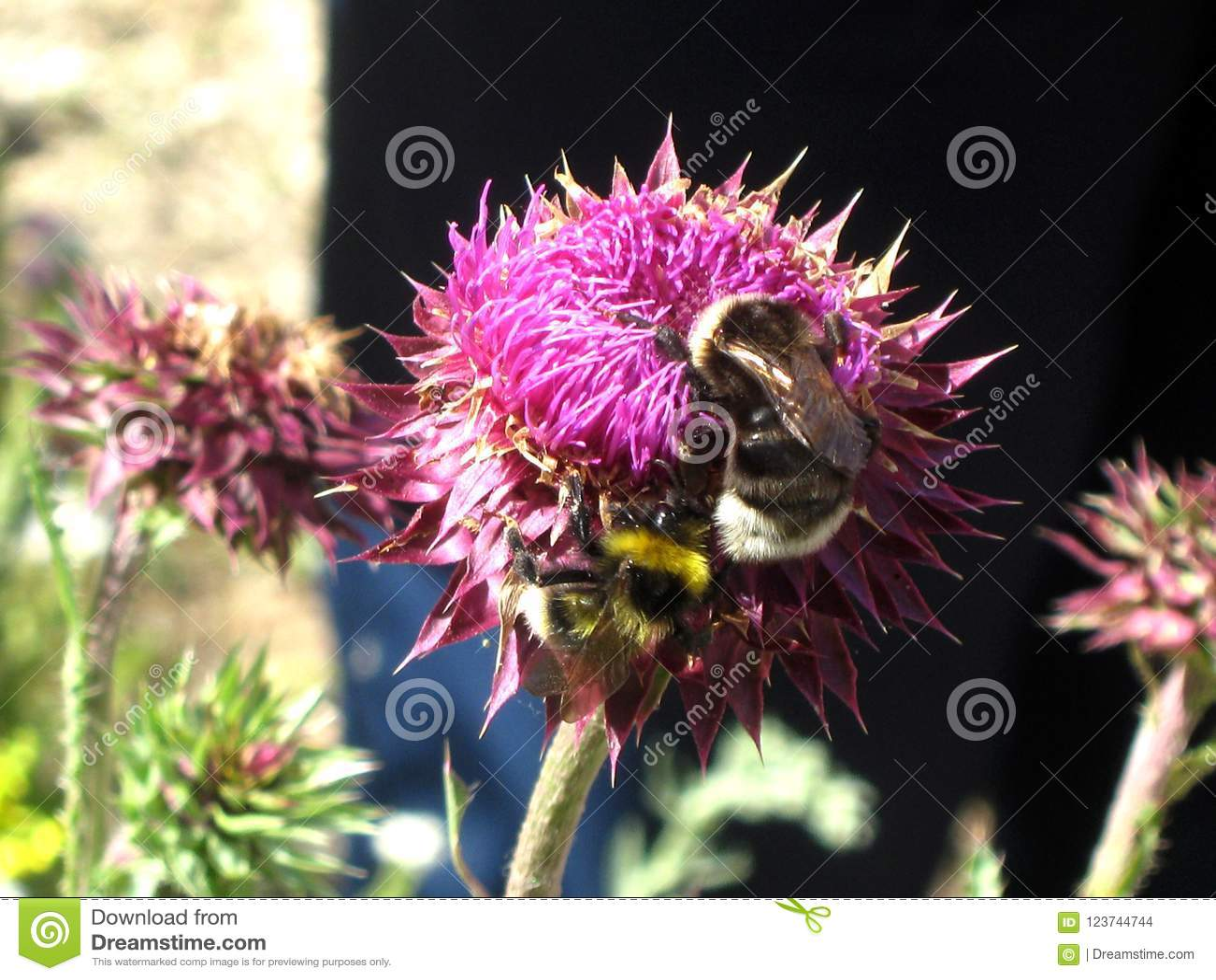 Пчелы на цветке клевера