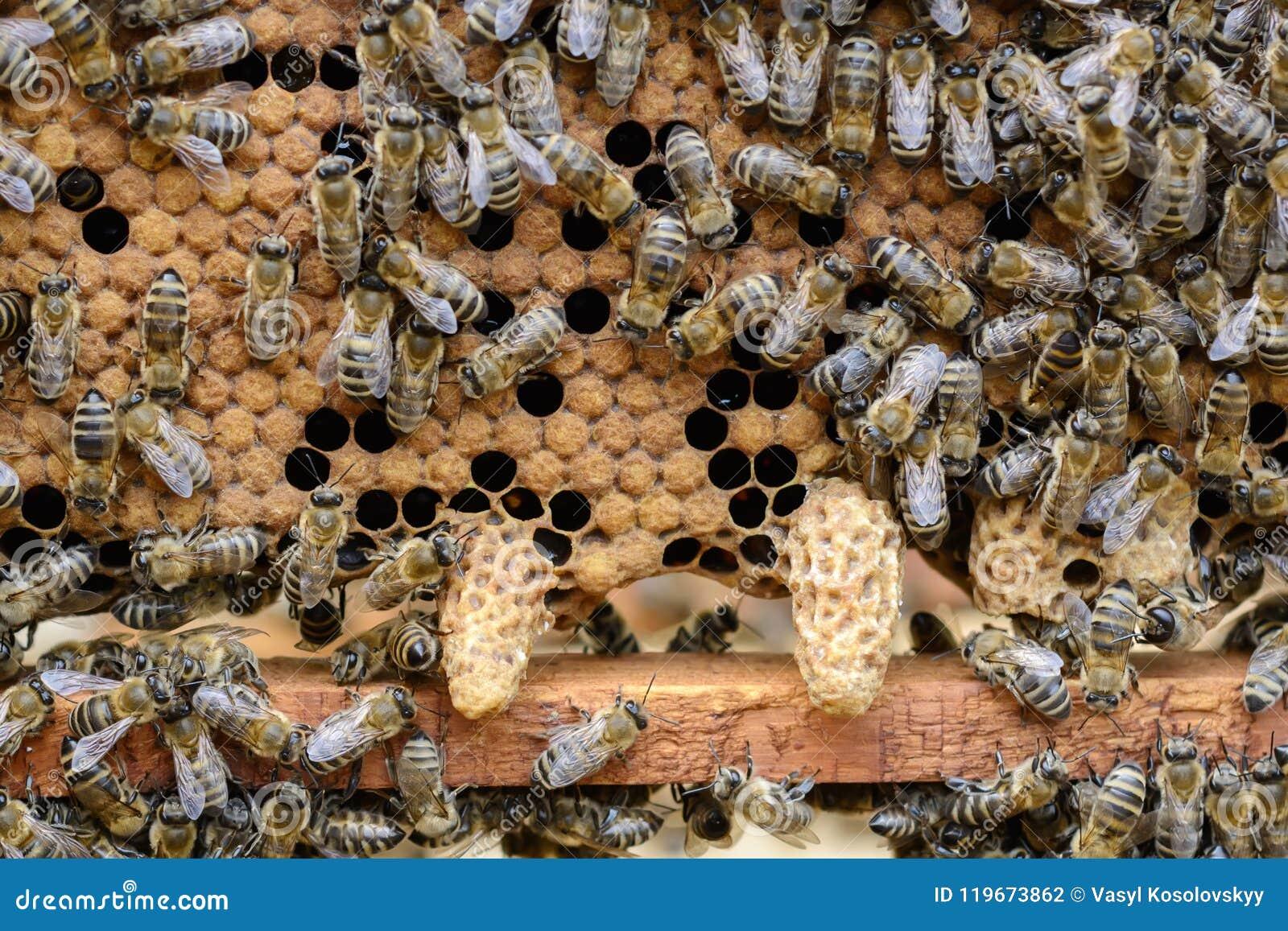 Пчелы обращают внимание превращаясь личинка пчелы ферзя