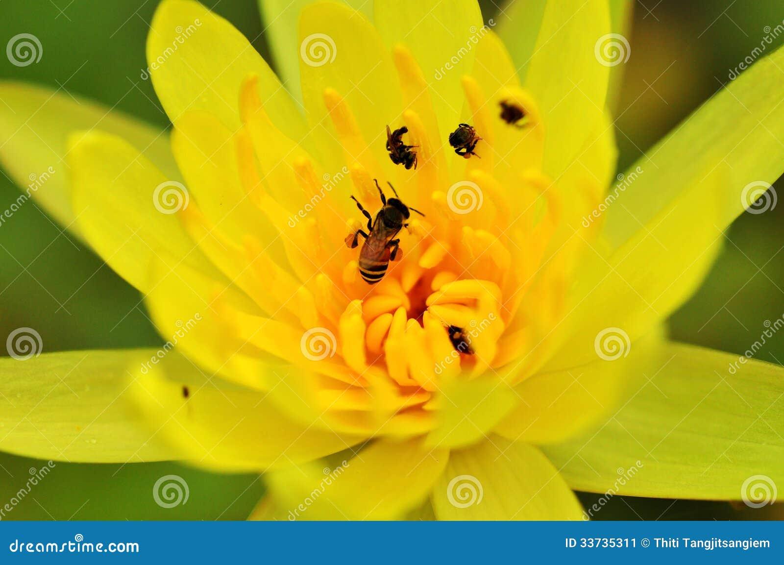 Пчела на желтом лотосе
