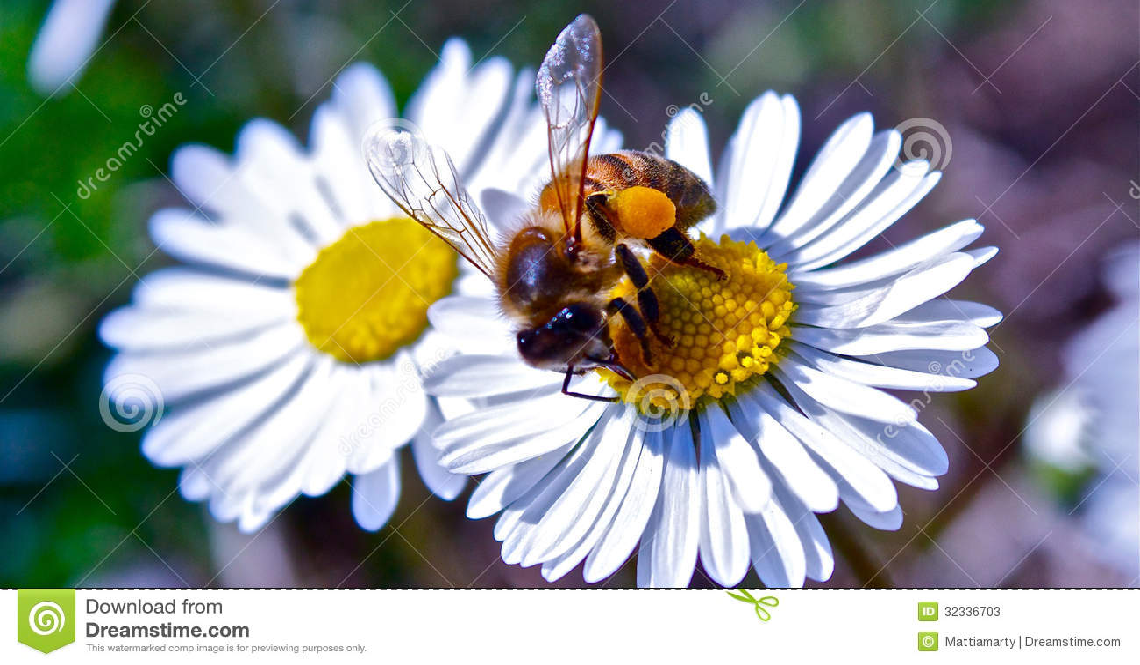 Пчела фото на цветке