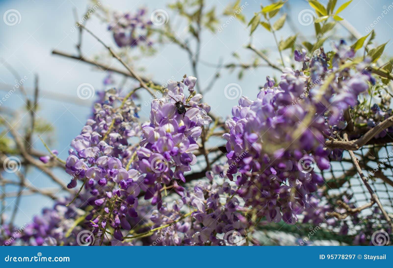 Пчела плотника & x28; Xylocopa Valga& x29; опылите пурпур и Wis лаванды