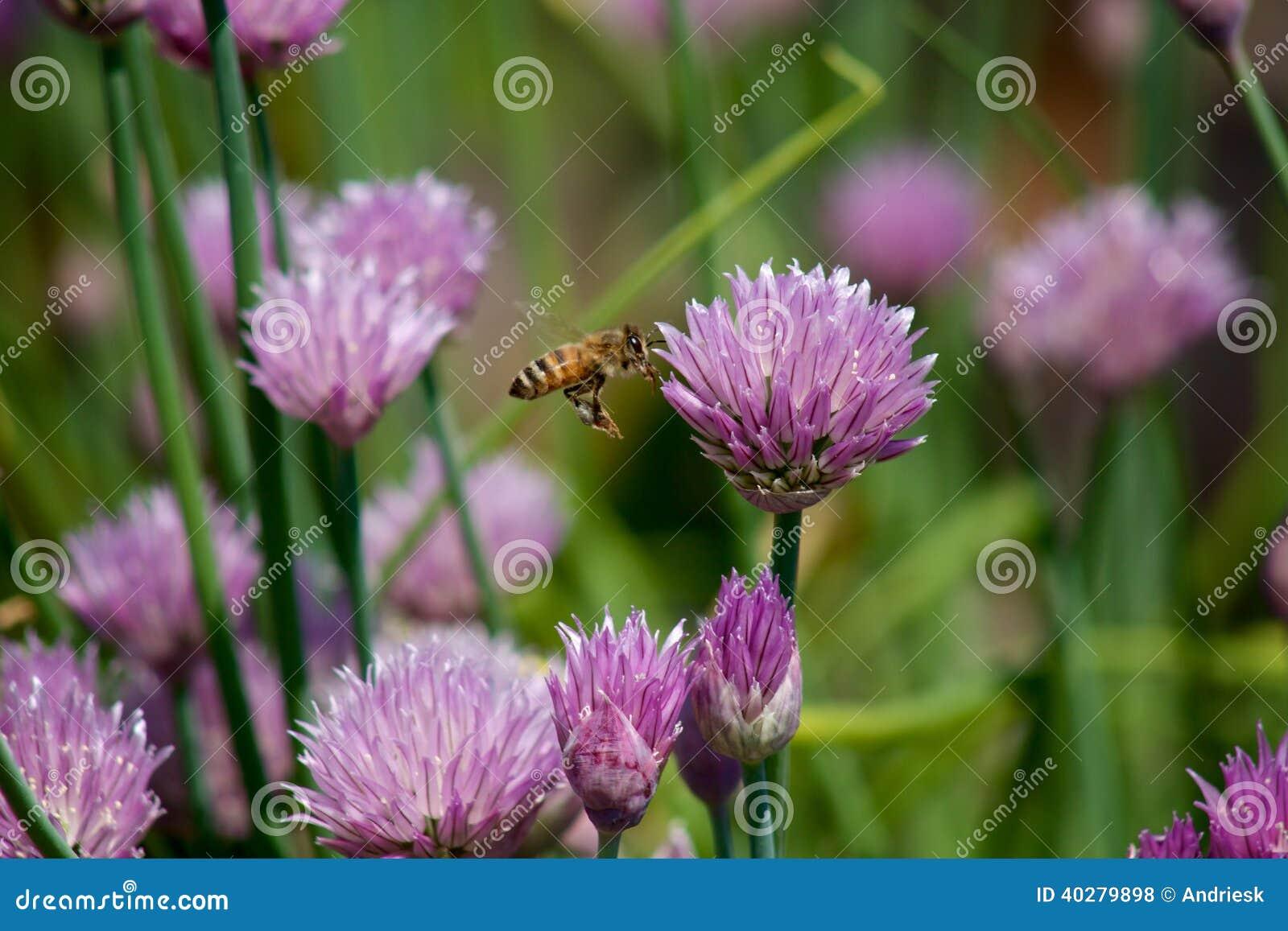 Пчела среди Chives