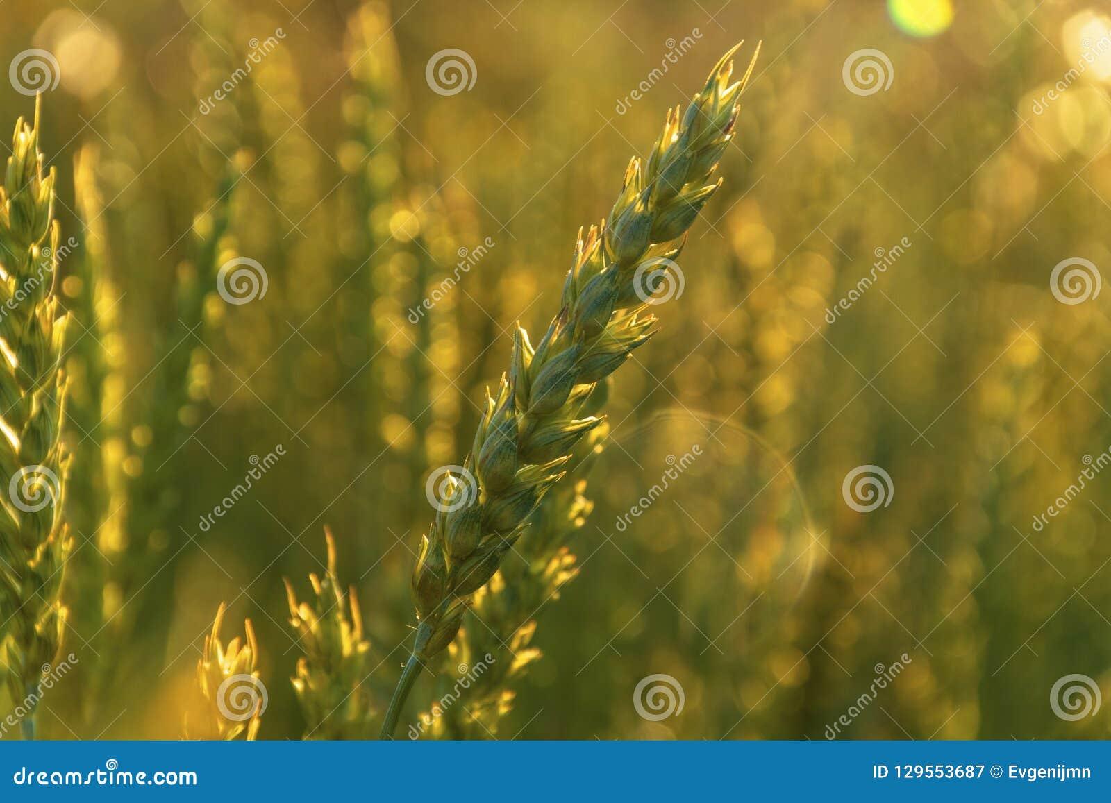 Пшеница в заходе солнца