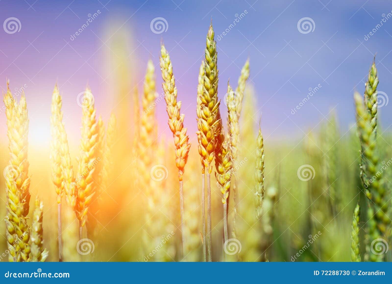 Download пшеница лета поля дня горячая Уши золотого конца пшеницы вверх Красивый ландшафт захода солнца природы Стоковое Фото - изображение насчитывающей рост, countryside: 72288730