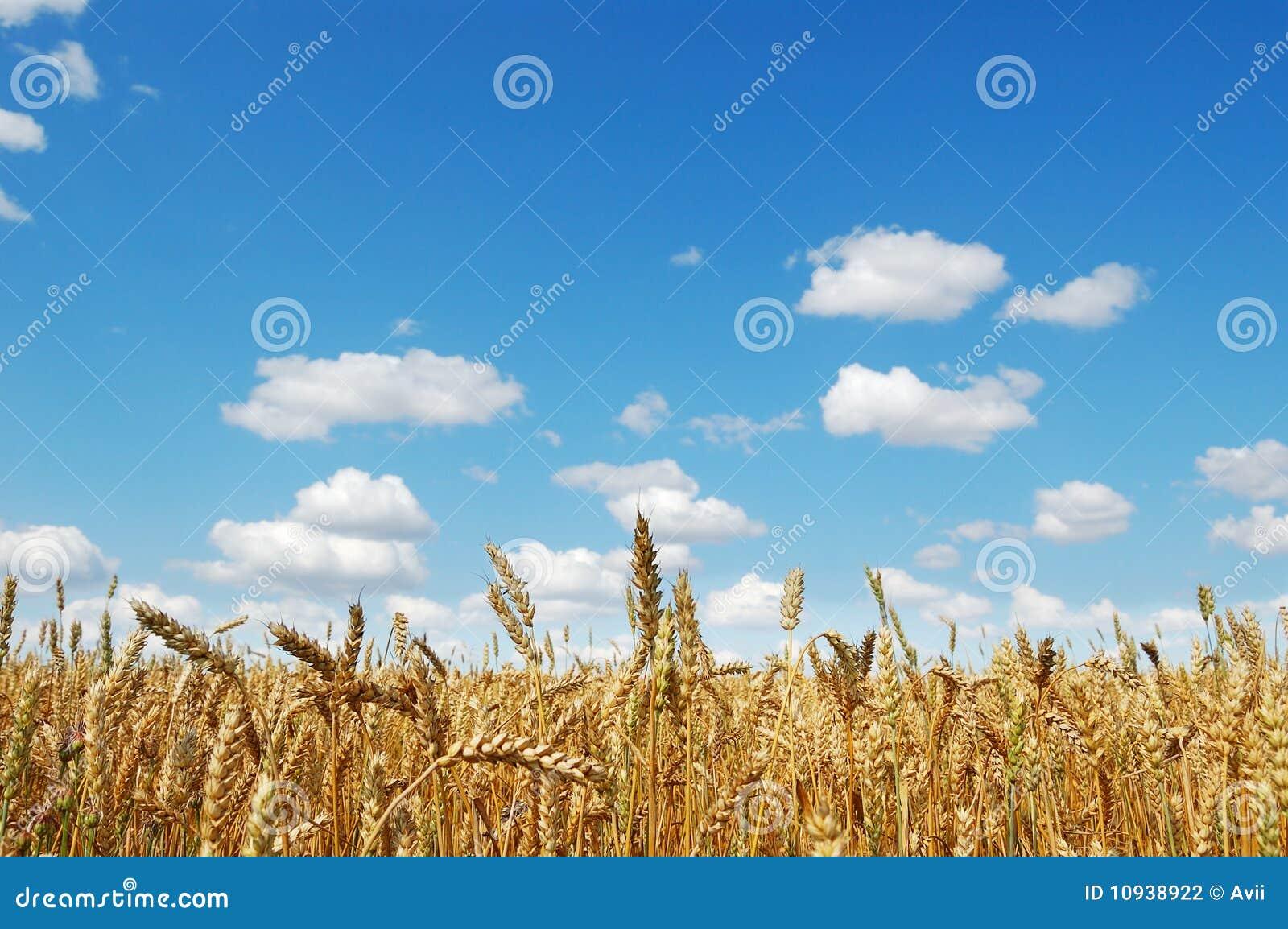 пшеница поля золотистая зрелая