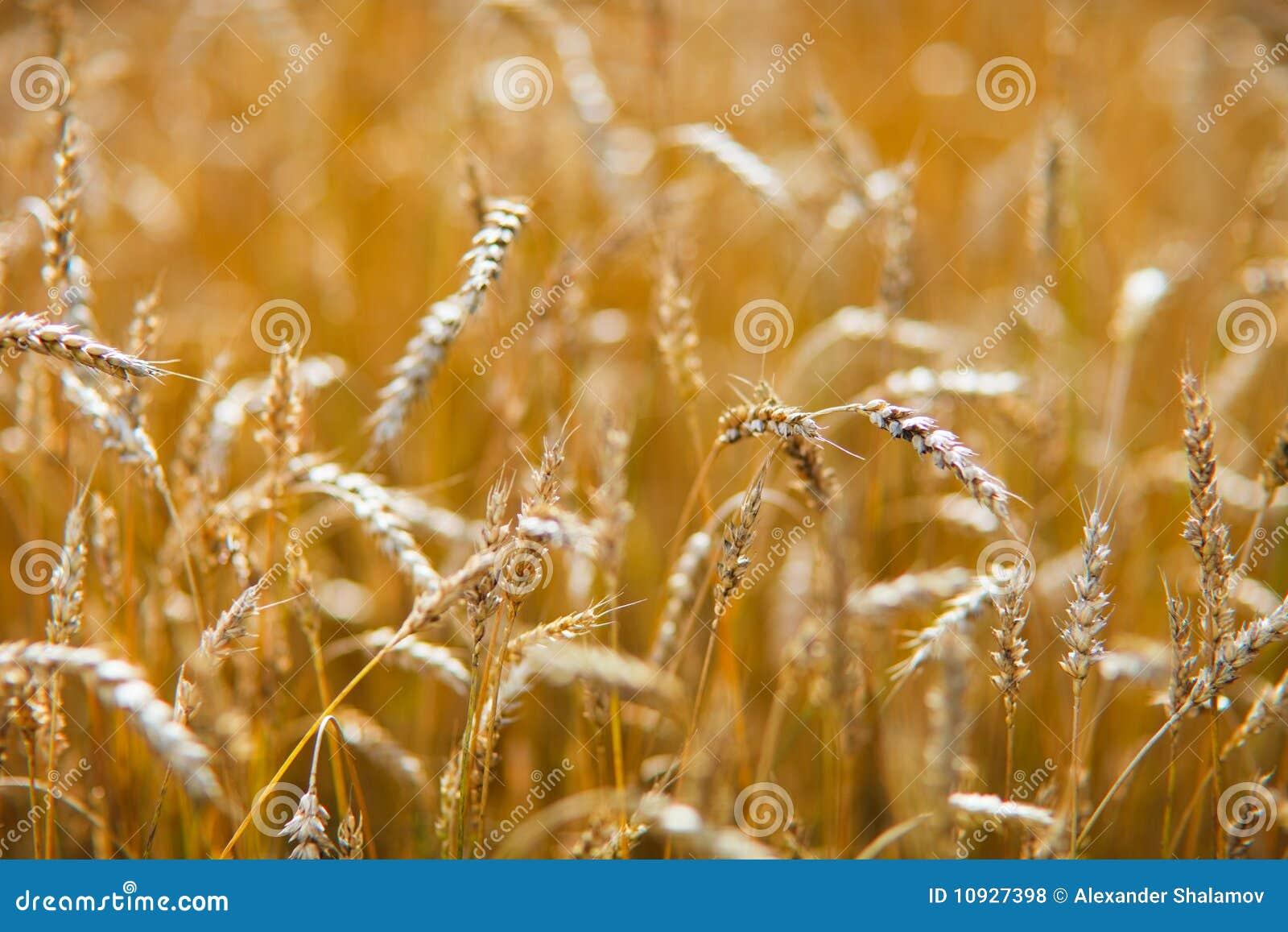 пшеница поля золотистая