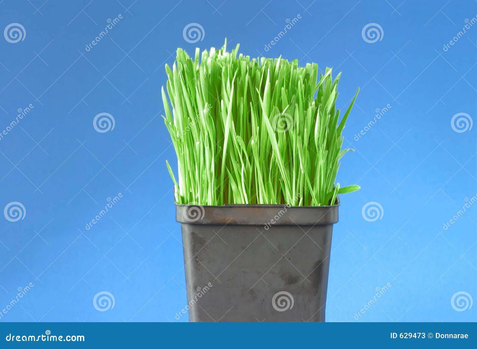 Download пшеница травы органическая стоковое изображение. изображение насчитывающей органическо - 629473