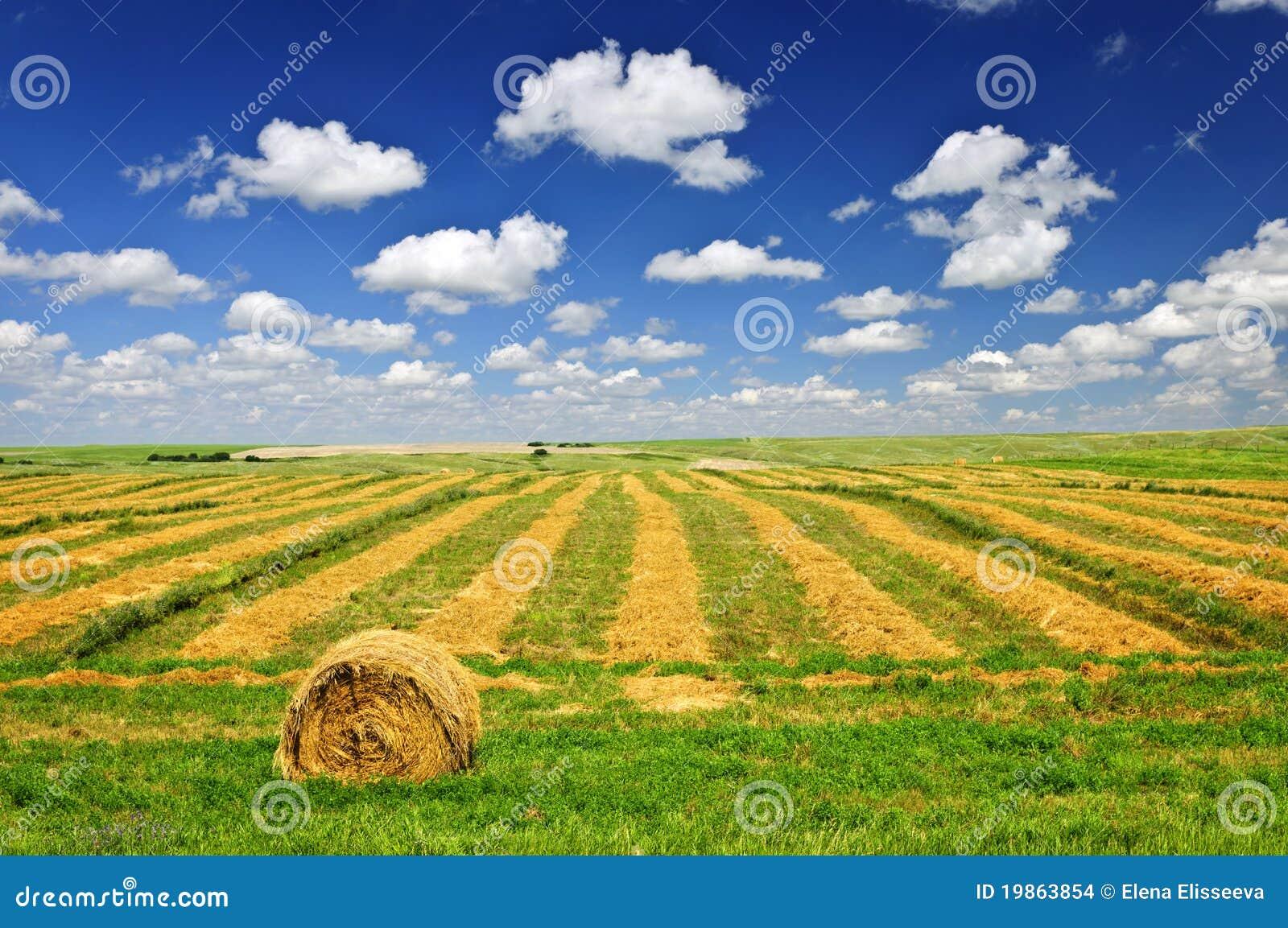 пшеница хлебоуборки поля фермы