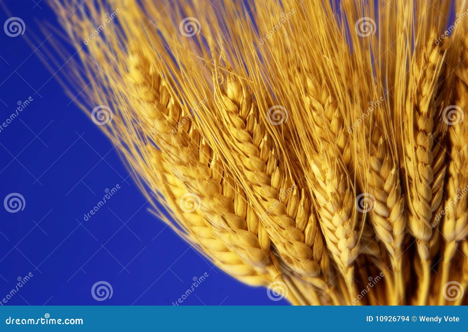 пшеница черенок