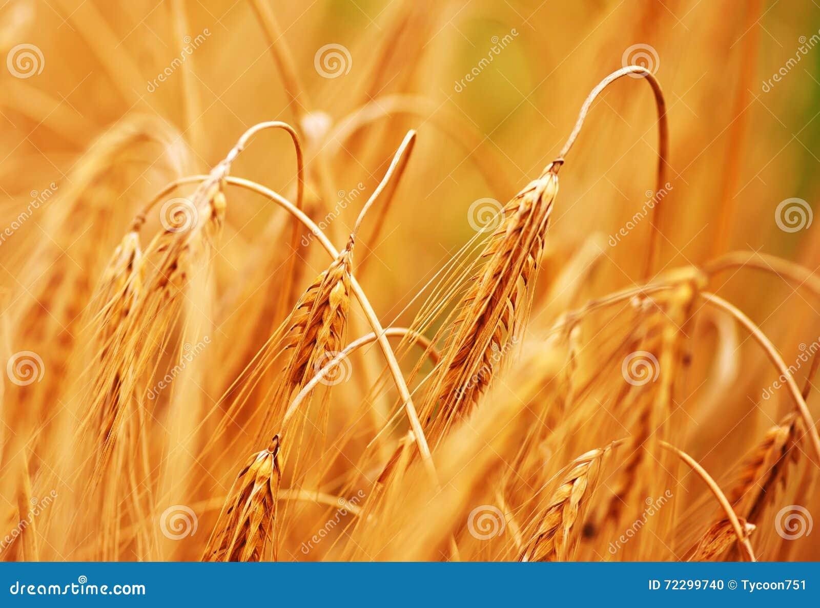 Download Пшеница стоковое фото. изображение насчитывающей никто - 72299740