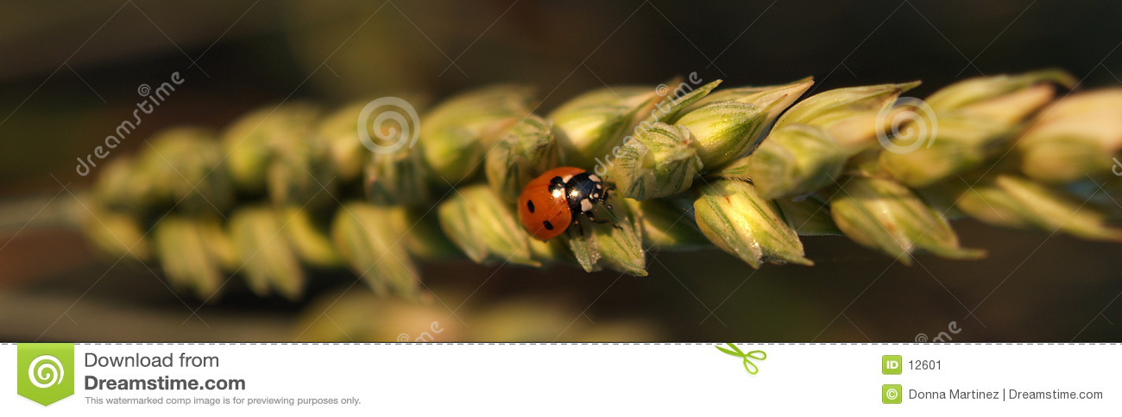 пшеница ladybug