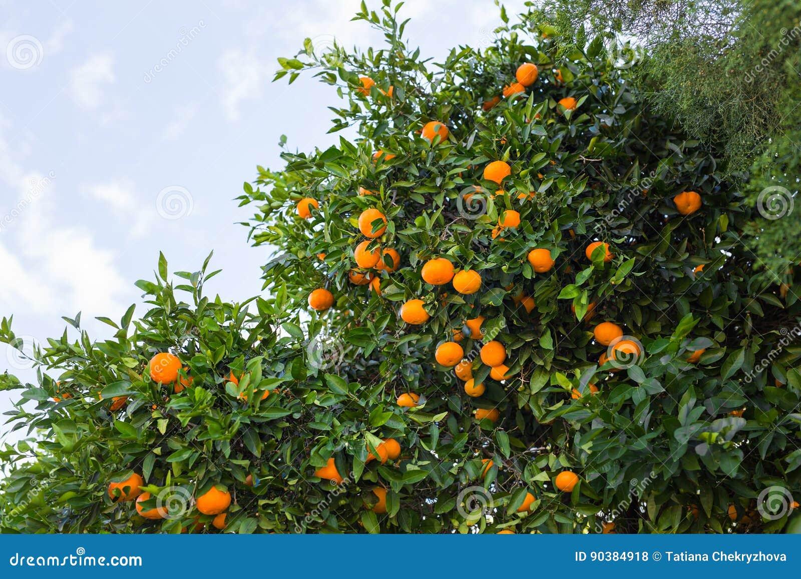 Плантации оранжевых деревьев