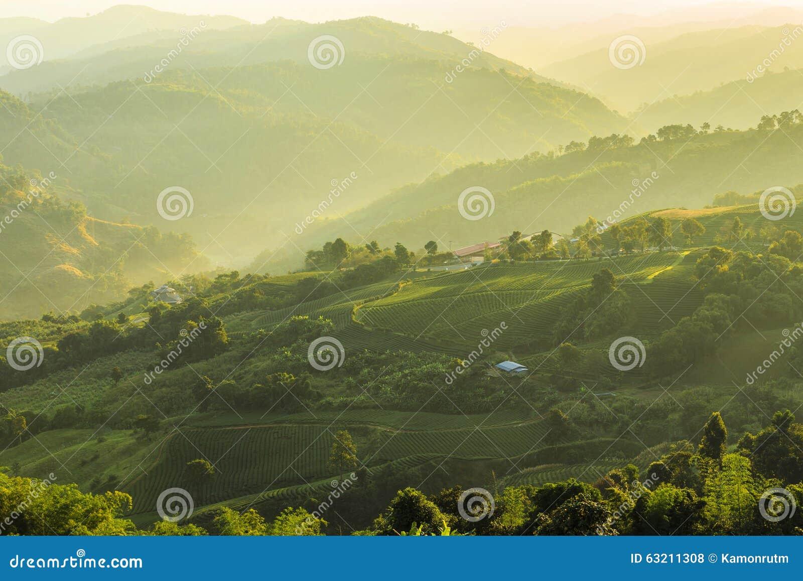 Плантации чая на Chiang Rai Таиланде