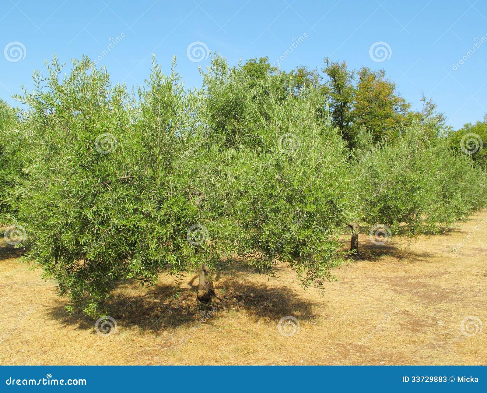 Плантация оливковых дерев