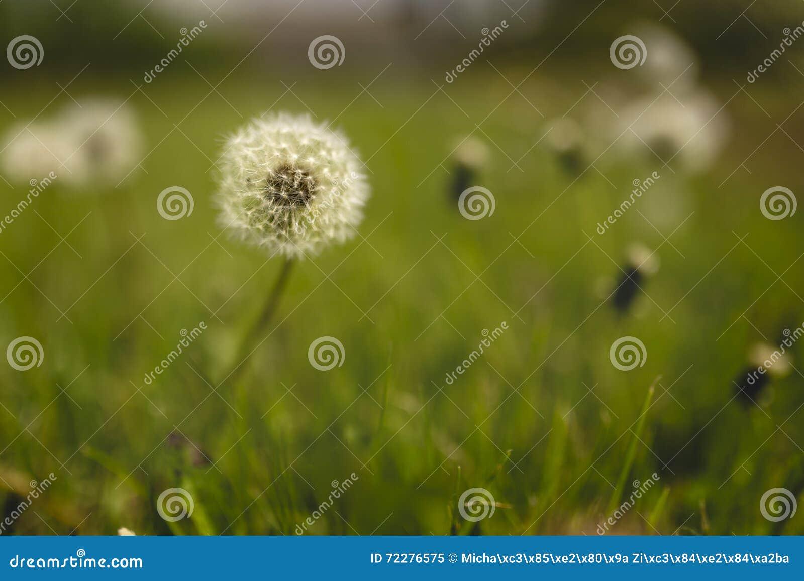 Download Плодоовощи одуванчика зрелые Стоковое Изображение - изображение насчитывающей трава, плодоовощ: 72276575