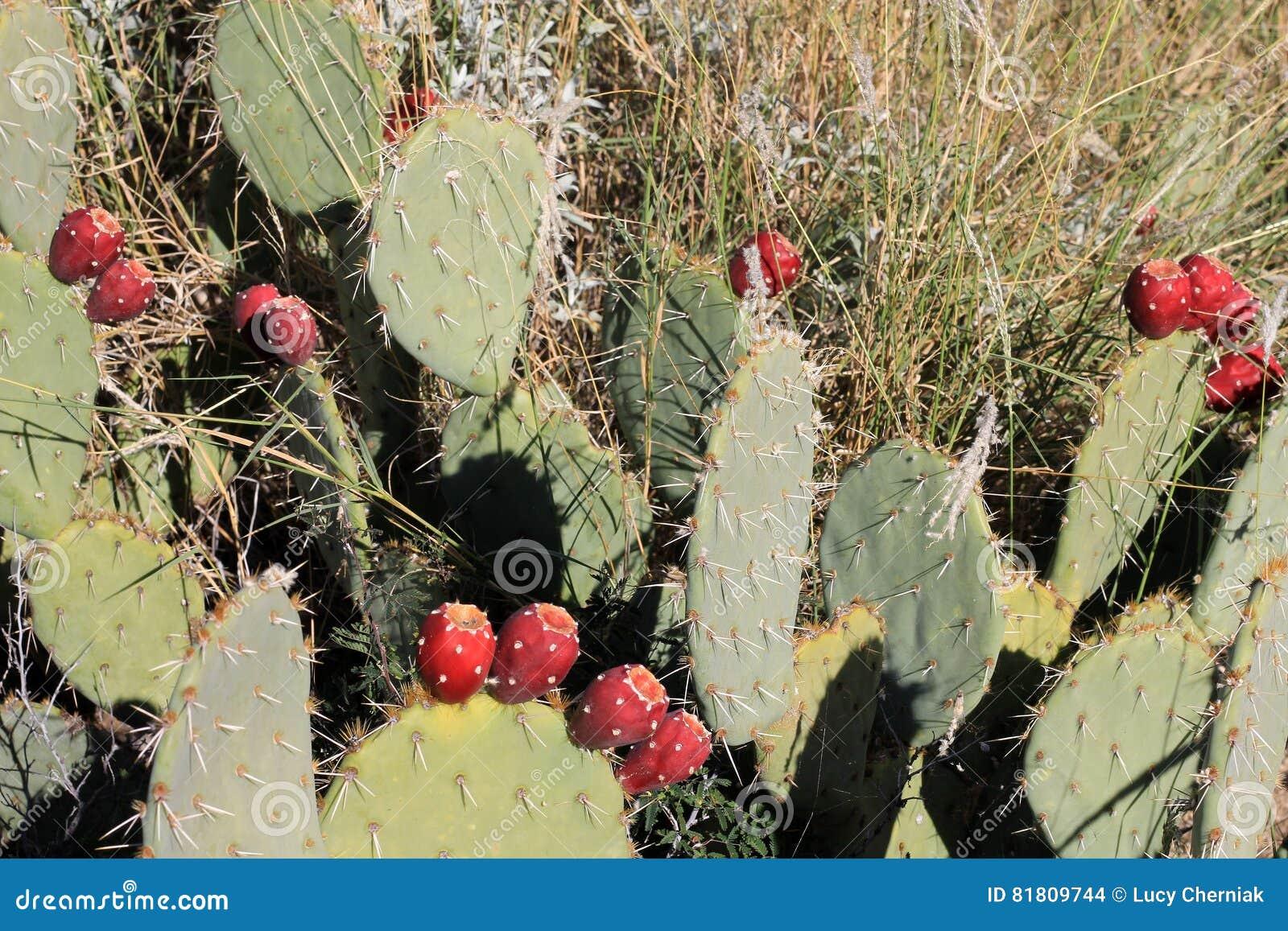 Плодоовощ кактуса