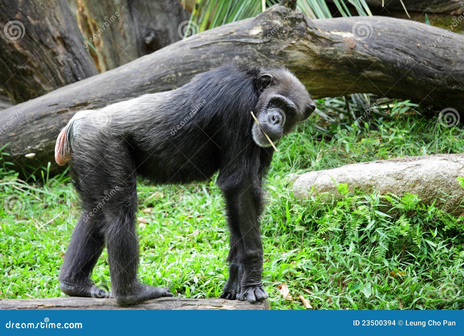 黑猩猩伸手表情包分享展示图片