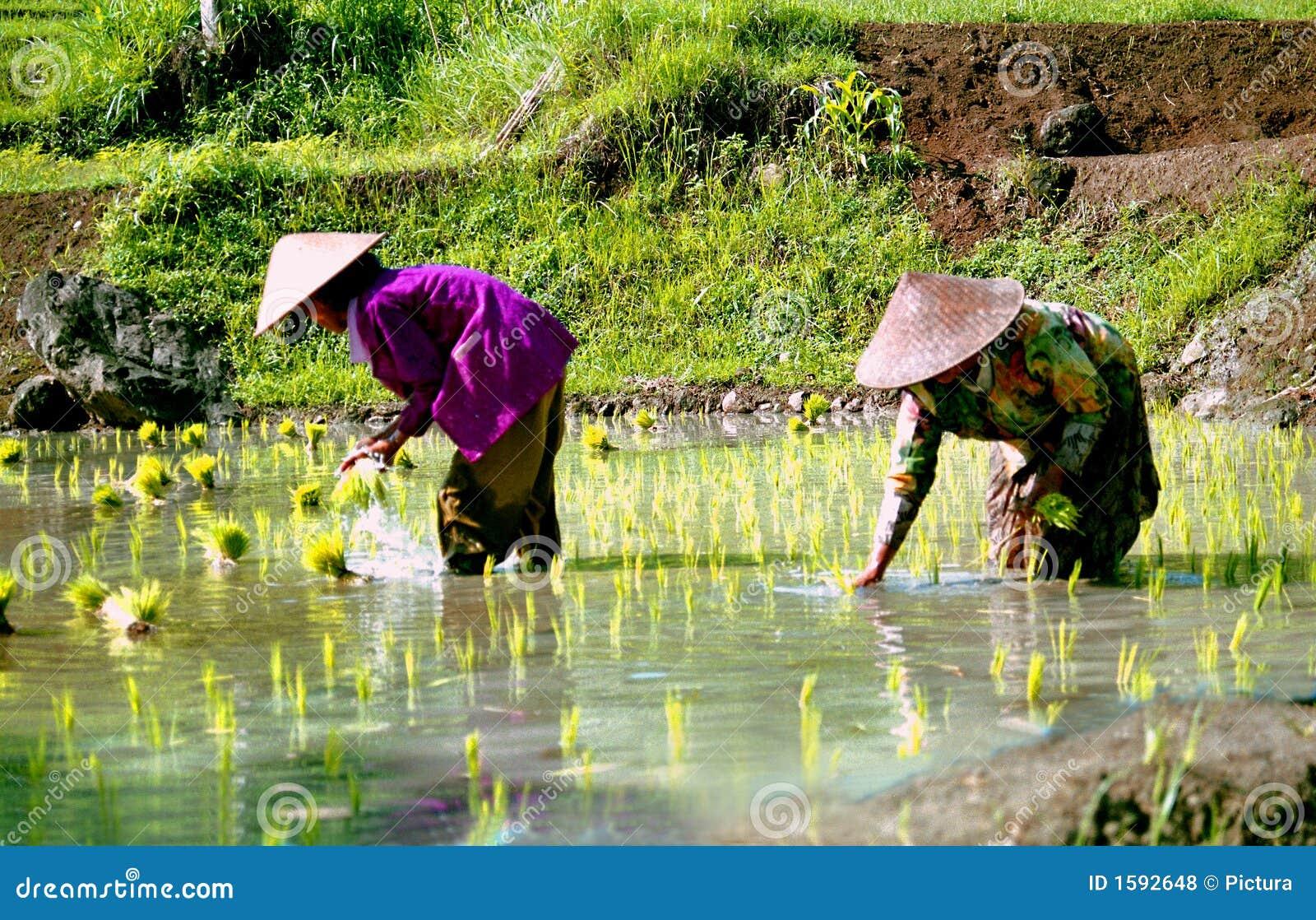 работники риса Индонесии