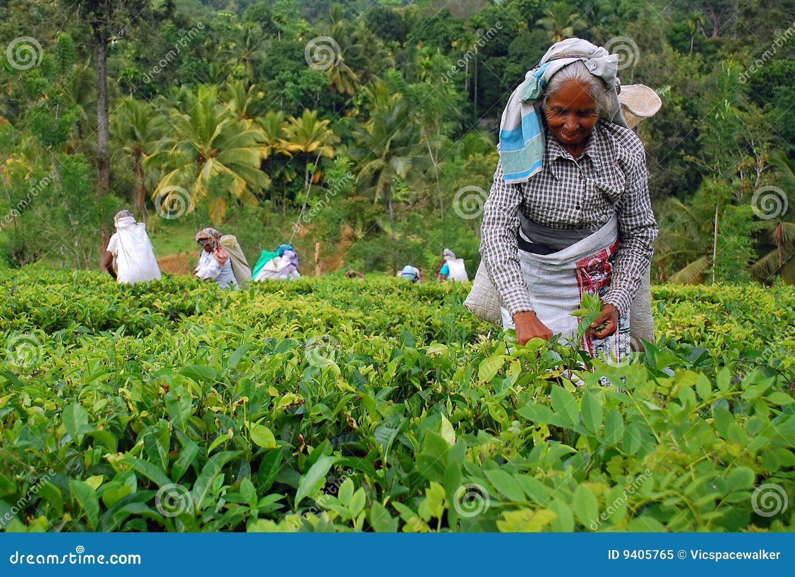 работники чая sri плантации lanka