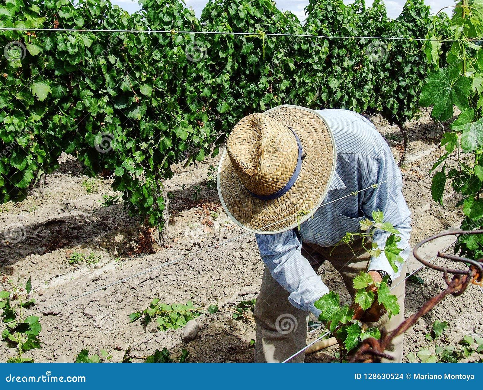 Работник виноградника среди