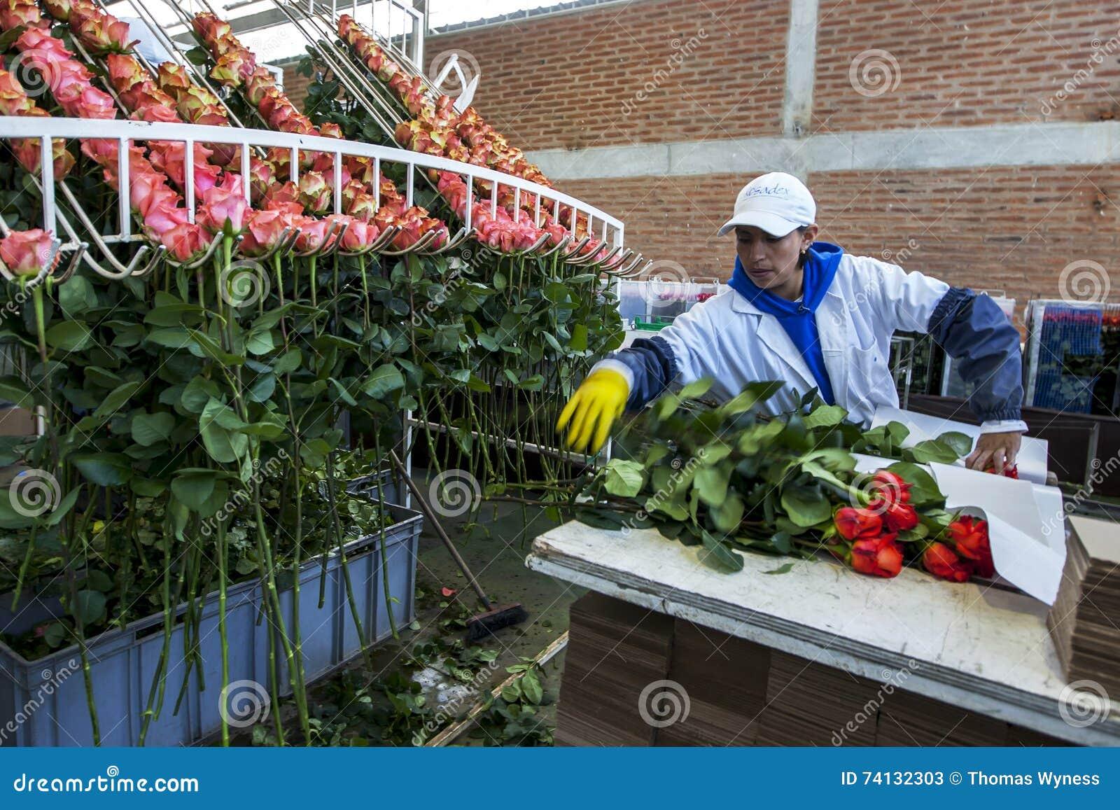 Работник на плантации Compania Ла розовой в эквадоре пакует розы в обрабатывая фабрике