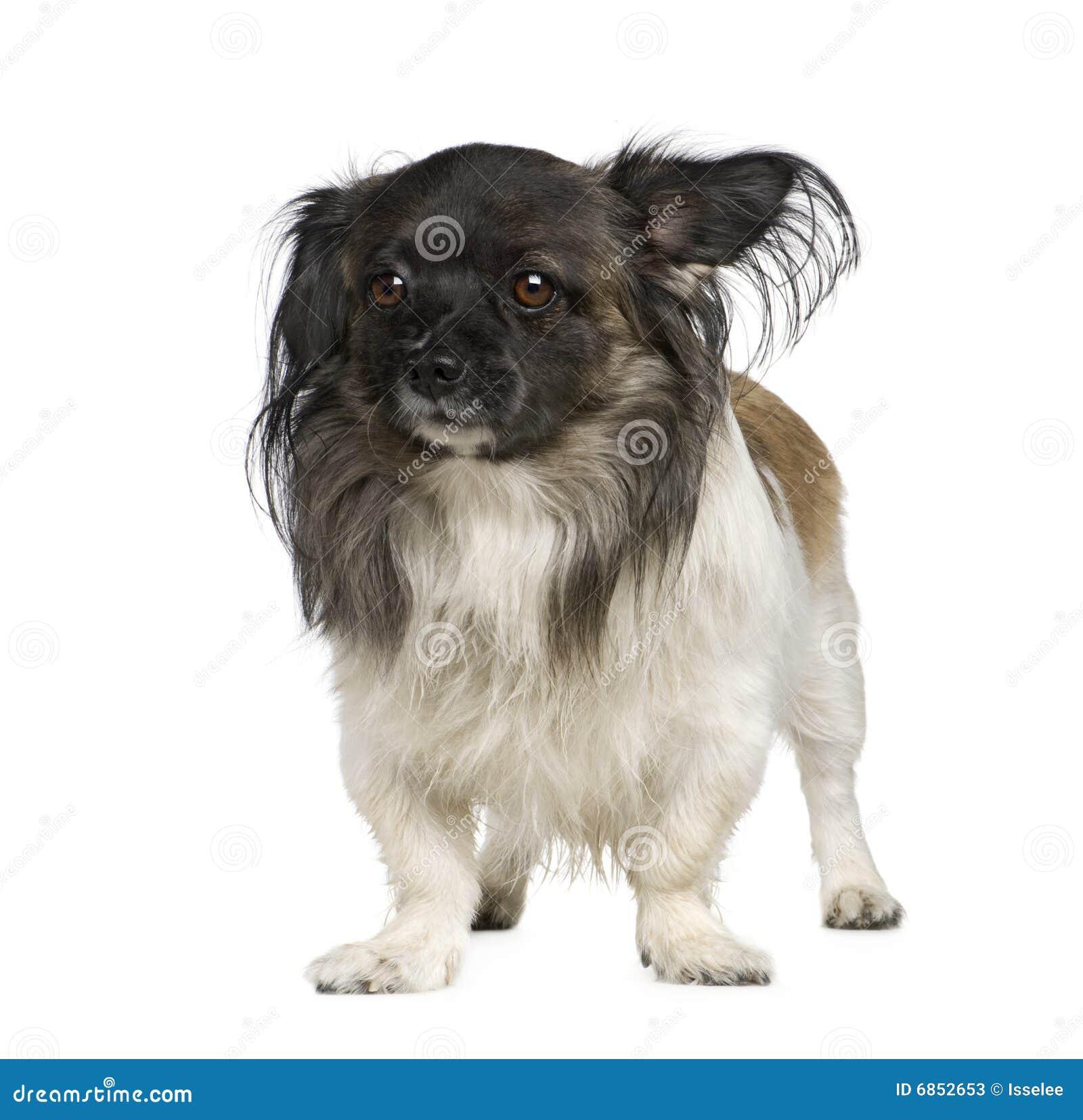 разведите papillon смешанное собакой