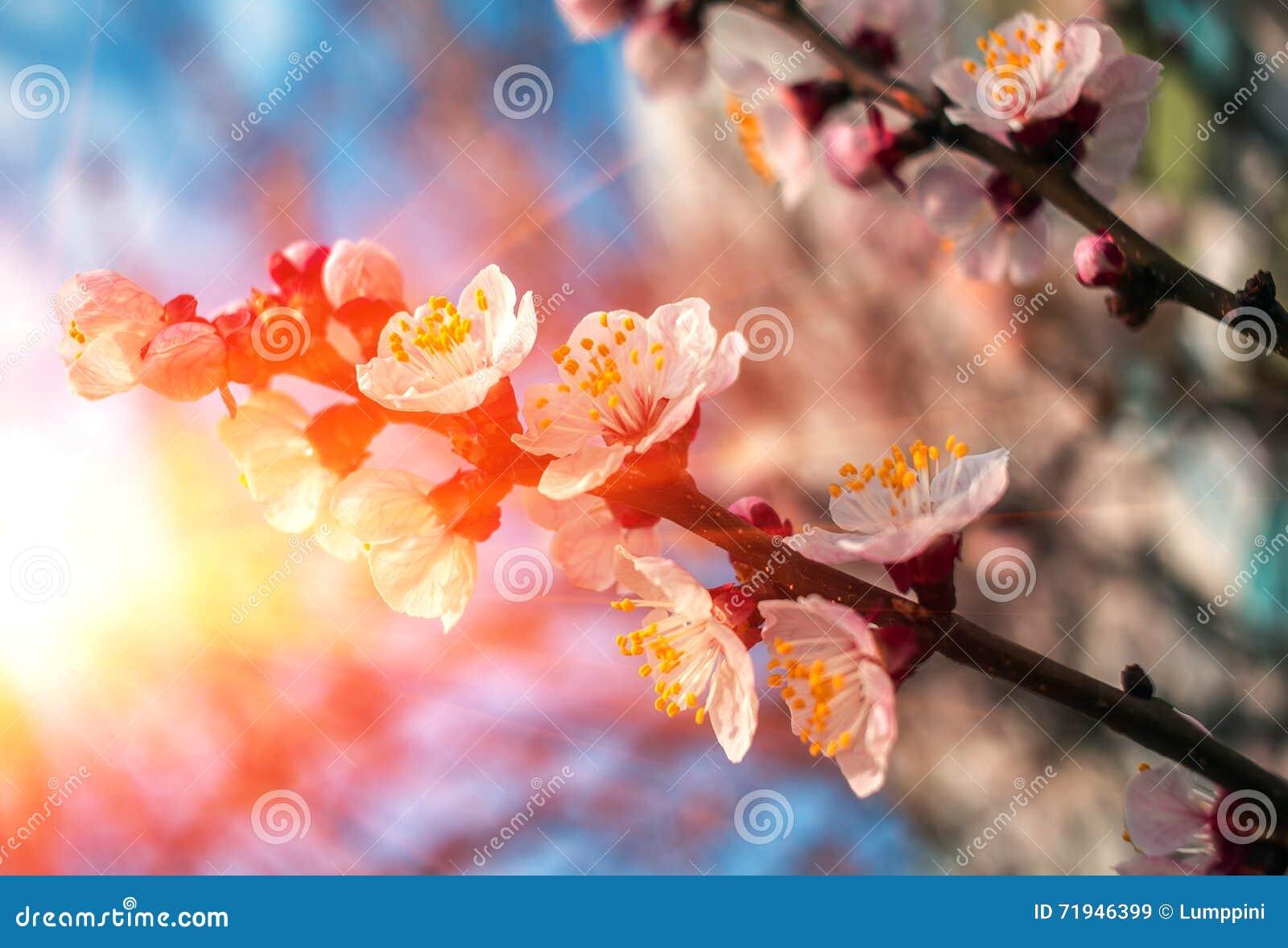 Разветвите с розовыми цветками на заходе солнца Деревья цветеня весны