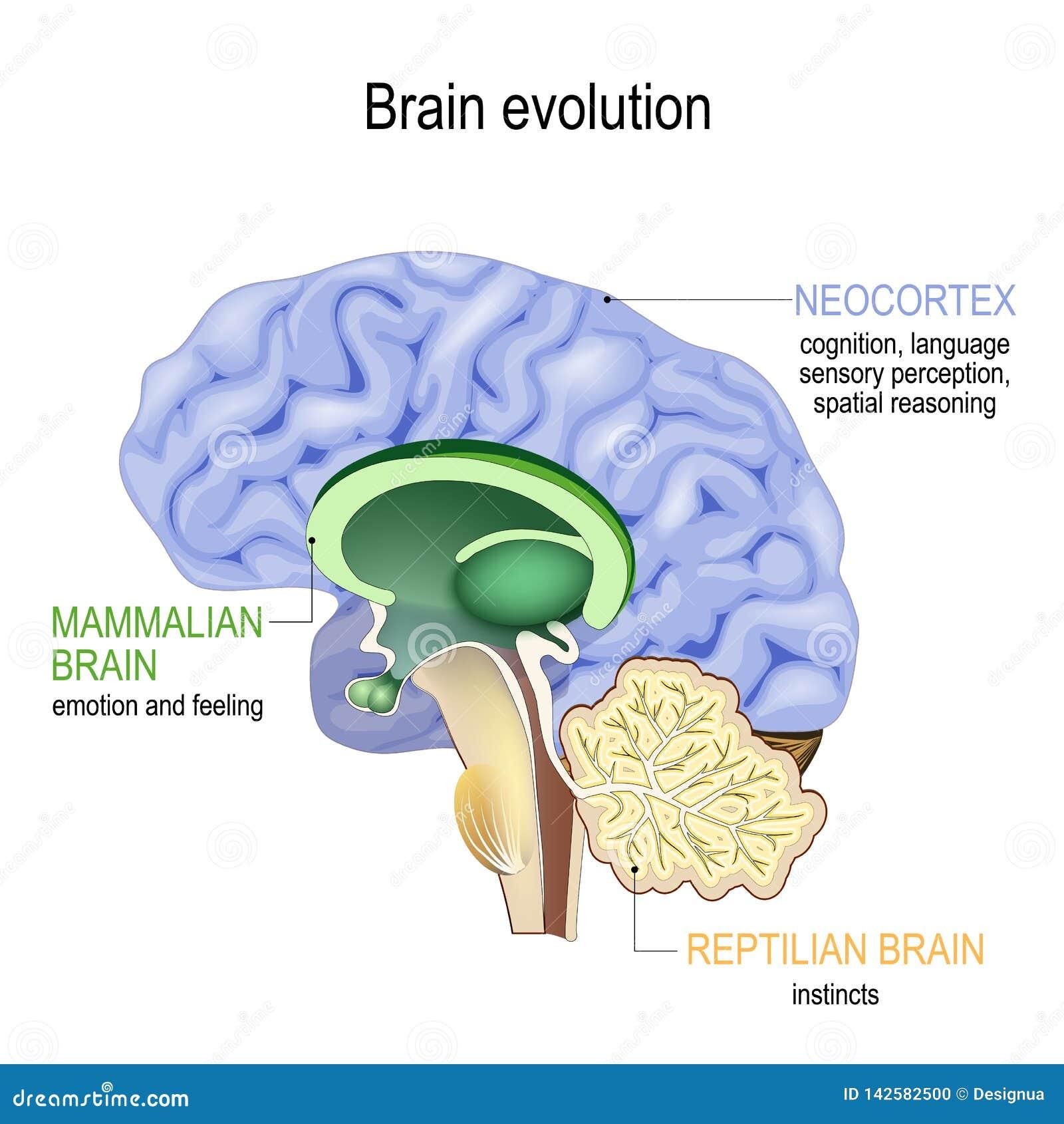 Развитие мозга Triune мозг: Комплекс рептилии, относящийся к млекопитающим мозг и новая кора