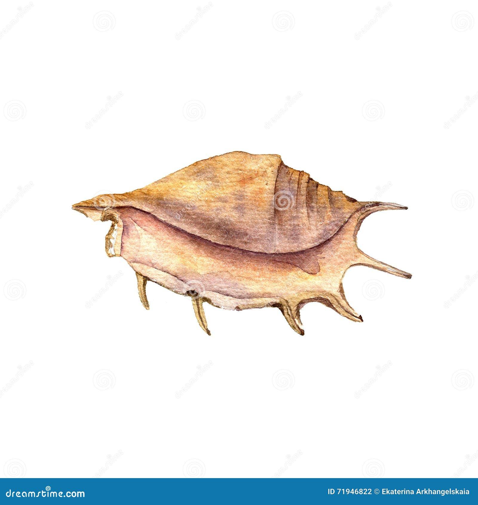 Раковина чертежа акварели
