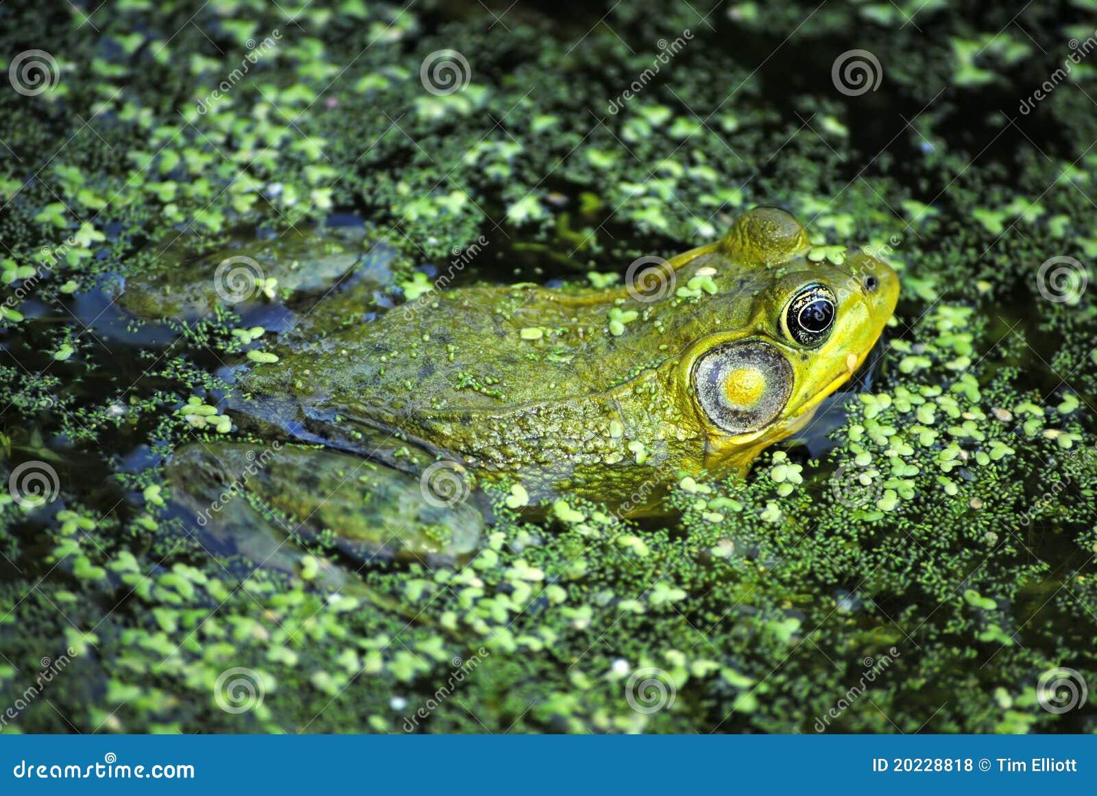 Рана pipiens леопарда лягушки северная