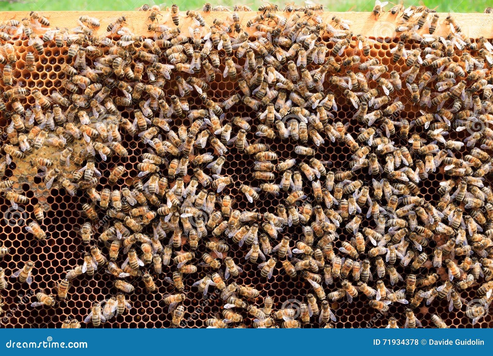 Раскройте крапивницу, пчеловодство