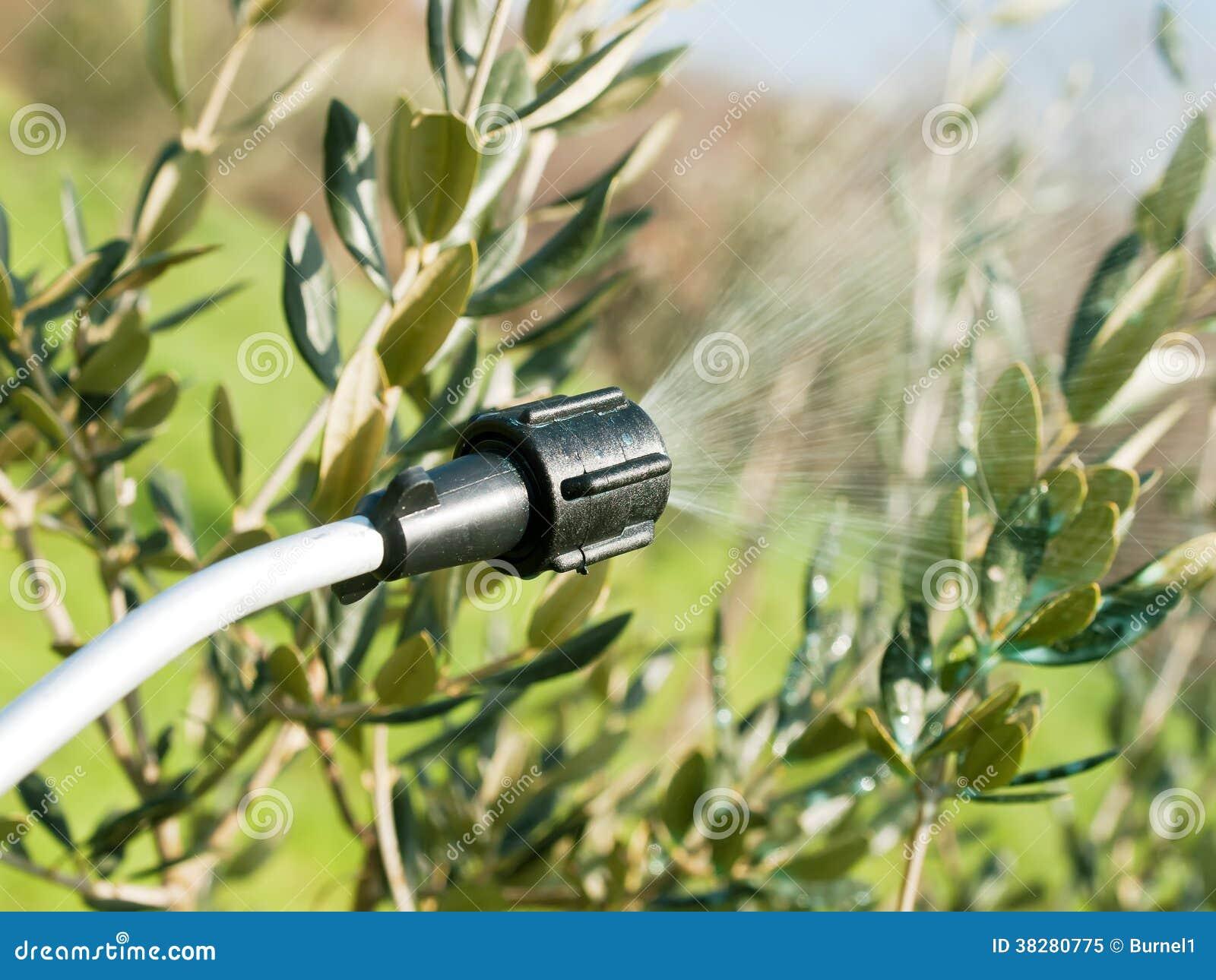 Распыляя оливковое дерево