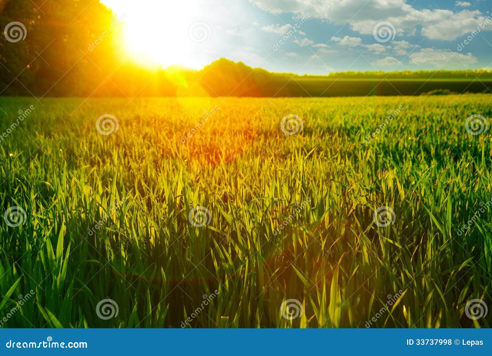 Рассвет на пшеничном поле