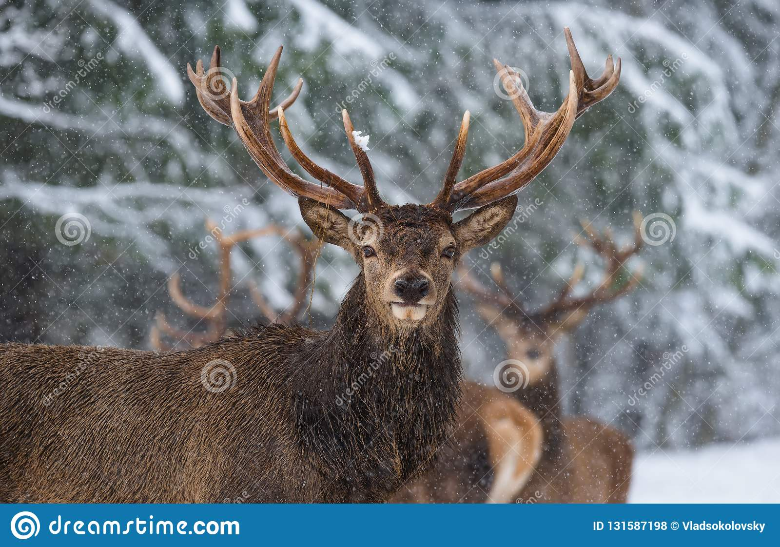 Рассказ живой природы рождества Большие взрослые благородные красные олени с большими рожками, смотрят вас Портрет большего рогач
