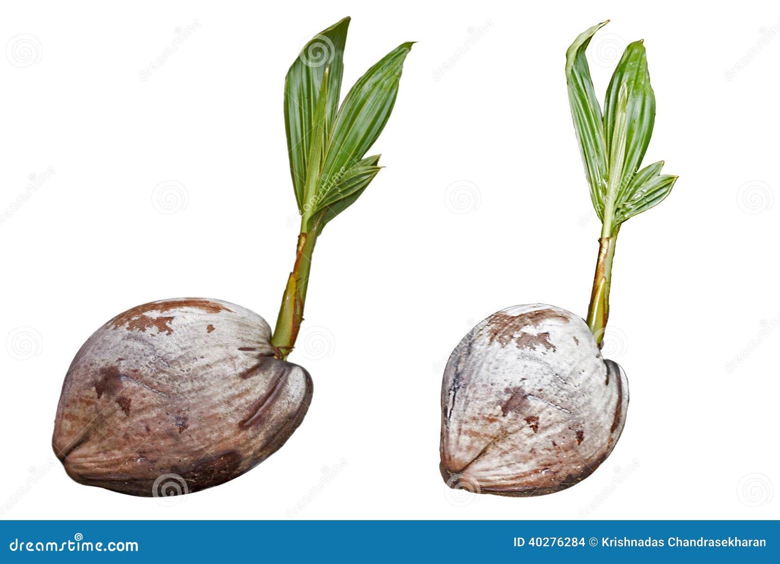 Расти завода кокоса