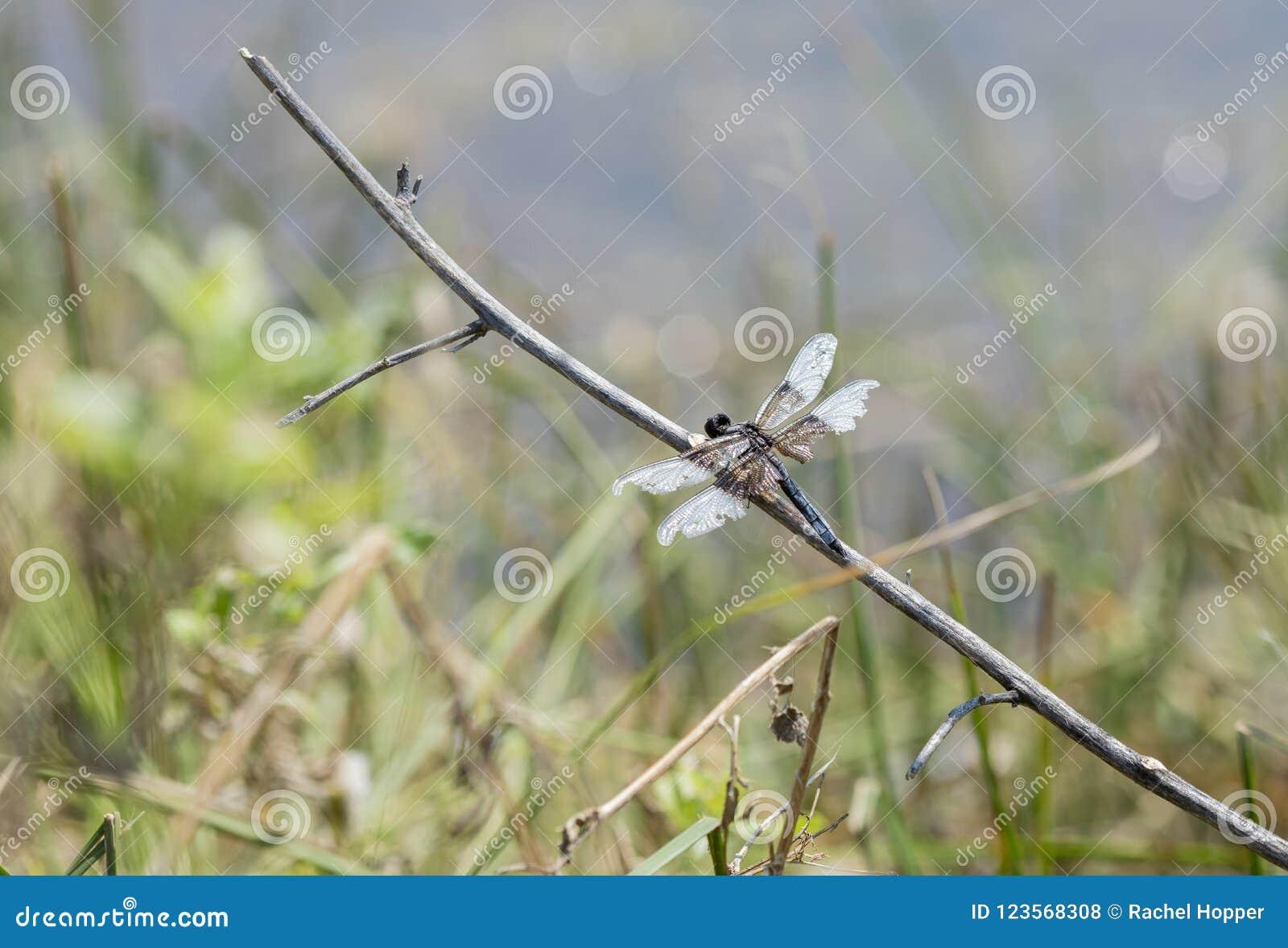 Растрепанное, который подогнали luctuosa Libellula Dragonfly шумовки вдовы садилось на насест