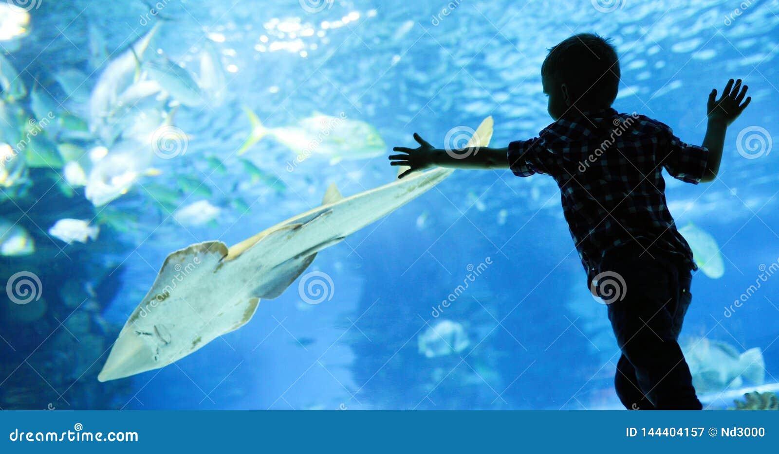 Ребенк наблюдая мелководье рыб плавая в oceanarium