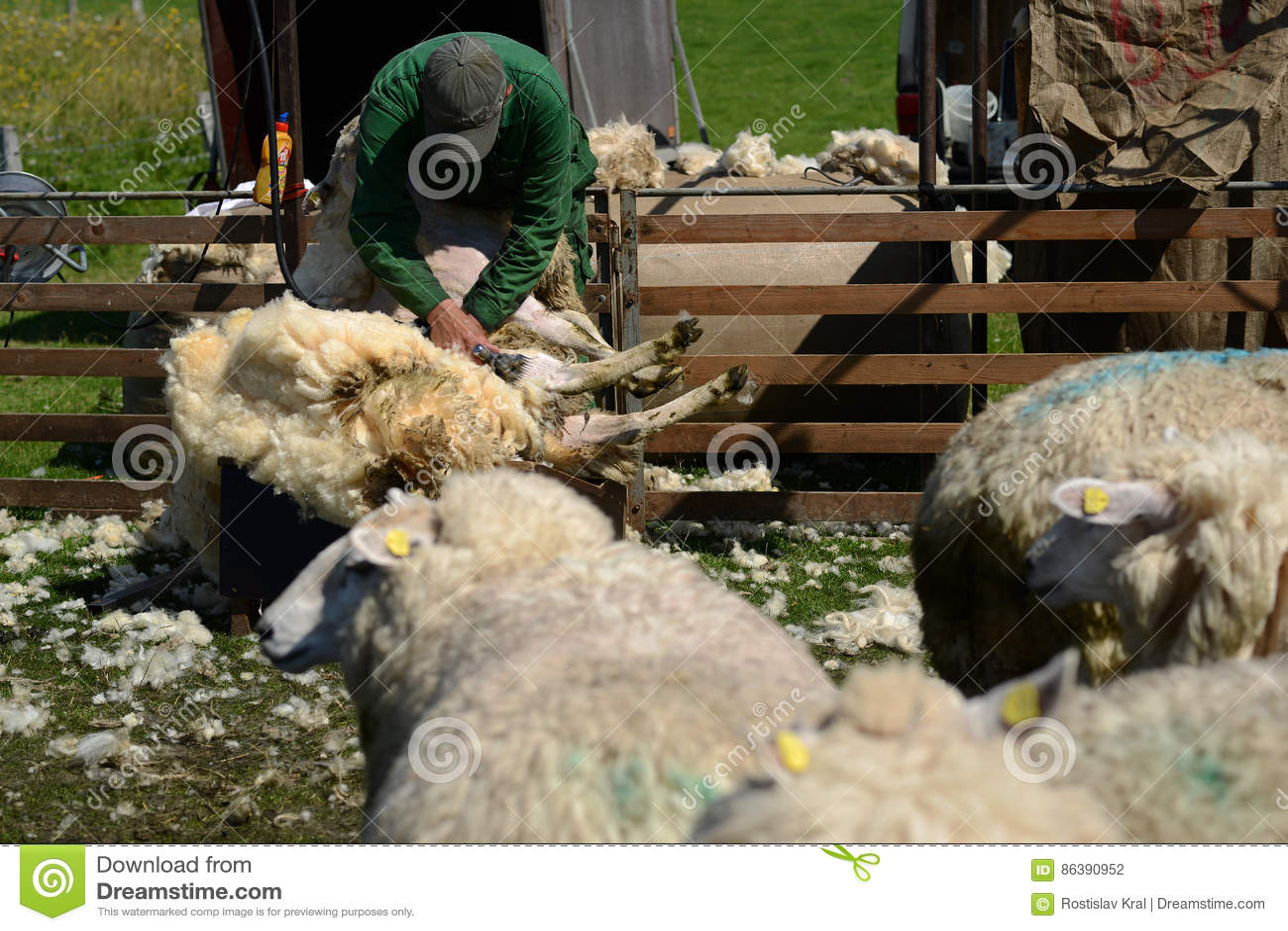 Режа овцы