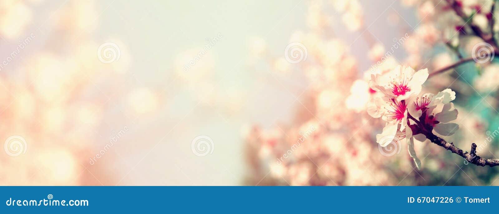 Резюмируйте запачканную предпосылку знамени вебсайта дерева вишневых цветов весны белого Селективный фокус Фильтрованный год сбор