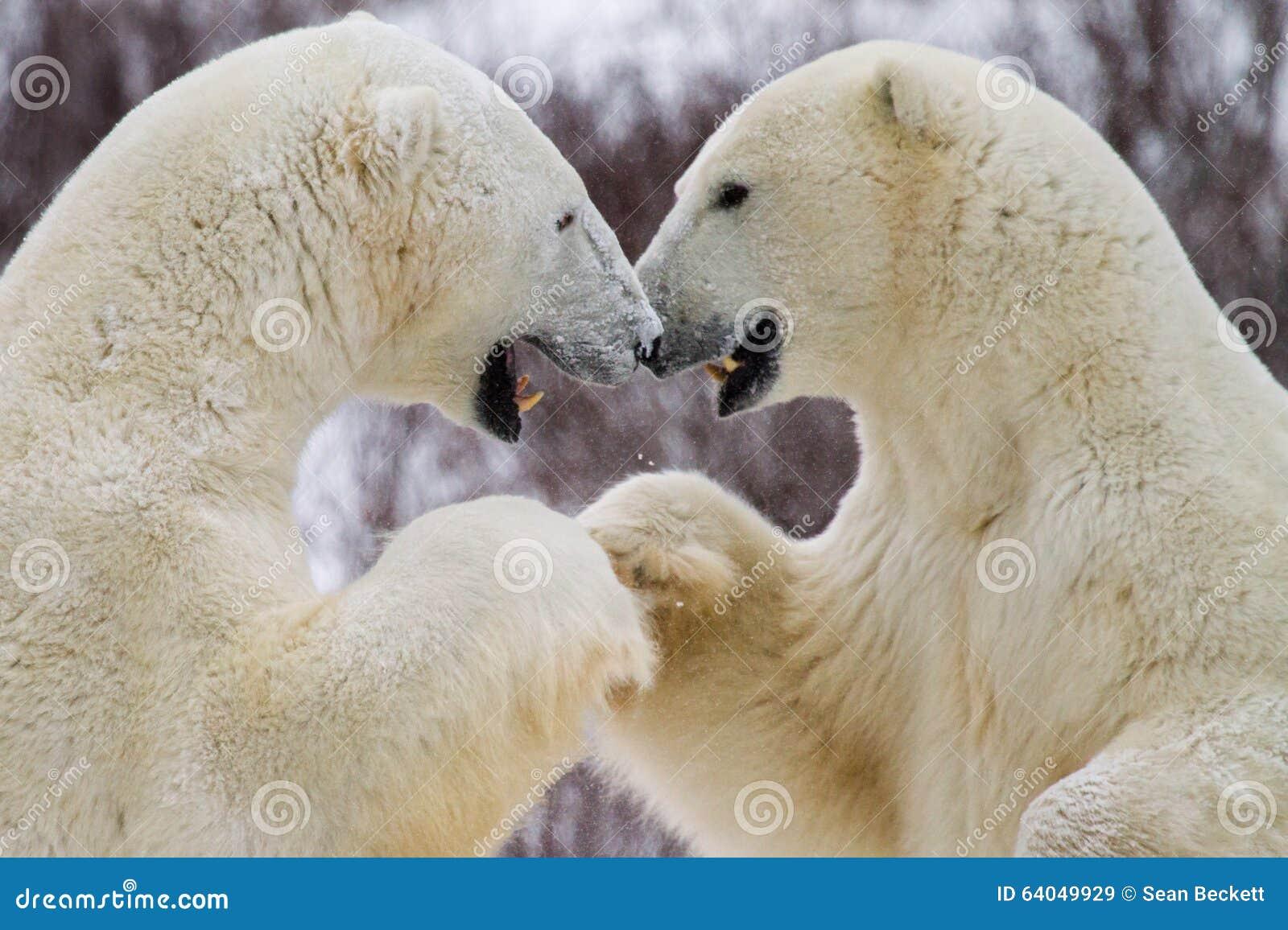 Рему кулака полярного медведя