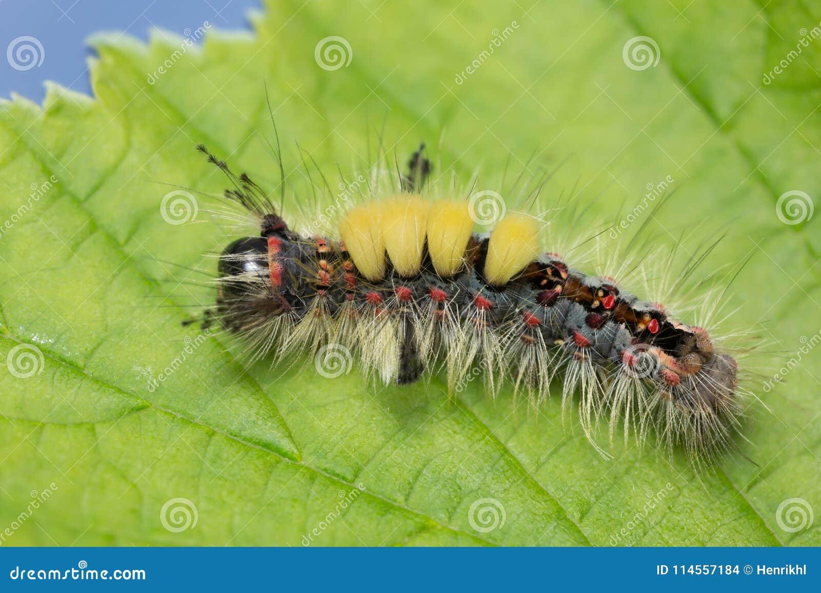 Ржавая сумеречница tussock, личинка antiqua Orgyia на лист